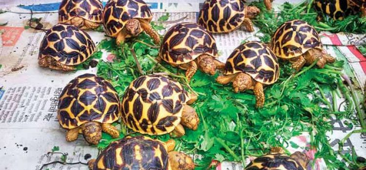 Endangered species Star Tortoises  – Bannerghatta park